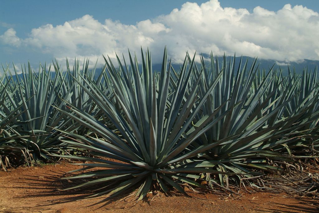 Five things you should know about agave