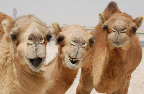 camels laughing happy desert
